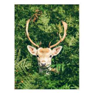 White-Tailed Deer Peeking Out of Bushes Postcard