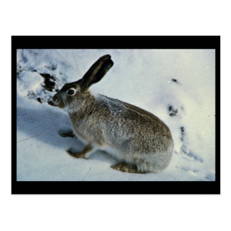 White-tailed Jackrabbit Postcard