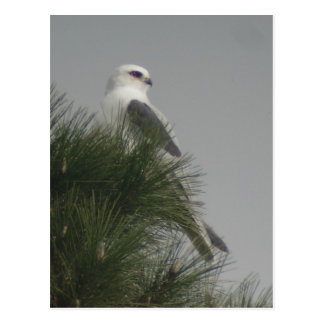 White-tailed Kite Postcard