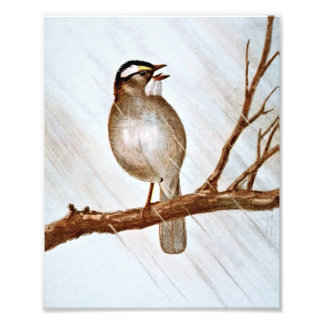 White Throated Sparrow Photo Print