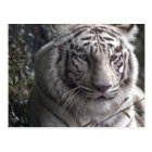 White Tiger Close-up Postcard
