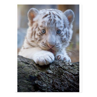 White Tiger Cub Is Paw Licking Good Postcard