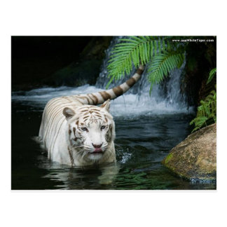 White Tiger Water Postcard