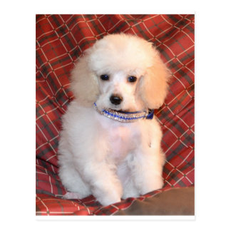 White Toy Poodle Fluffy Puppy Postcard