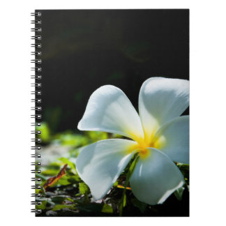 White tropical flower (frangipani) close up notebook