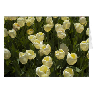 White Tulips in the Boston Gardens Card