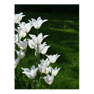 White tulips sunshine postcard