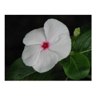 White Vinca Postcard