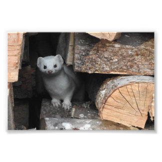 White Weasel Photograph