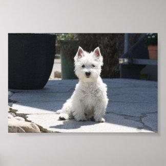 White West Highland Terrier Sitting on Sidewalk Poster