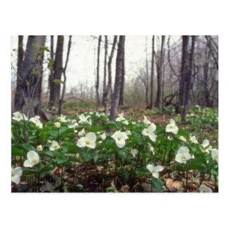 white White Trillium flowers Postcard