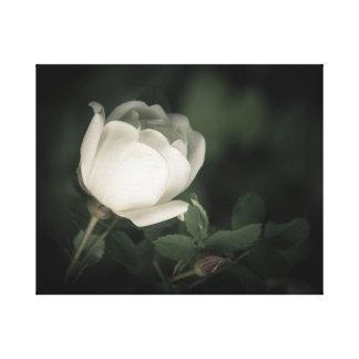 White Wild Rose on a Dark Background. Canvas Print
