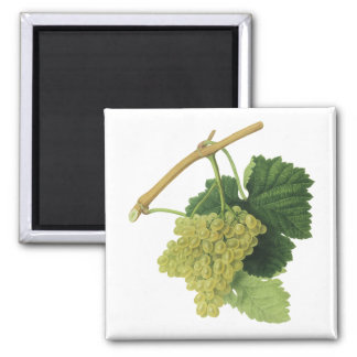 White Wine Grapes on the Vine, Vintage Food Fruit Square Magnet