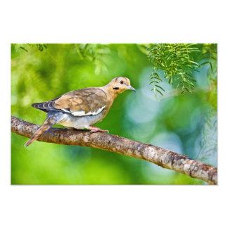 White-winged Dove Zenaida asiatica) adult, Photographic Print
