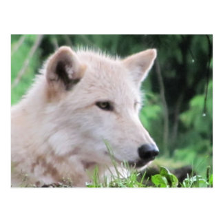 White Wolf Close Up Profile Postcard