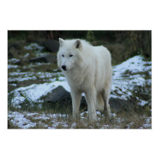 White Wolf in Winter Poster