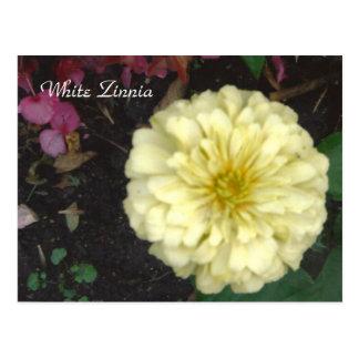 White Zinnia Postcard