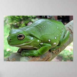 White's Tree Frog - Litoria caerulea Poster