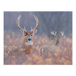 Whitetail Buck in Field Landscape Painting Poster