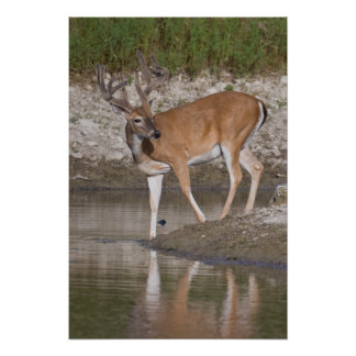 Whitetail Buck in Velvet Poster