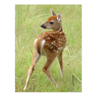 Whitetail Deer Fawn Postcard 6