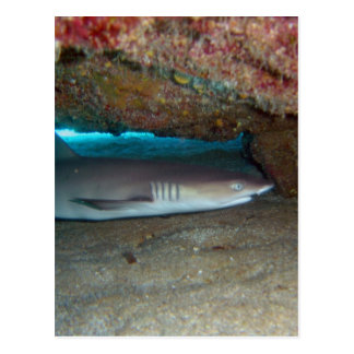 Whitetip Reef Shark 2 Postcard