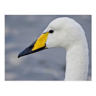 Whooper Swan at a pond in Reykjavik, Iceland. Postcard