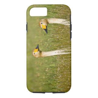 Whooper swan pair in Iceland. iPhone 7 Case
