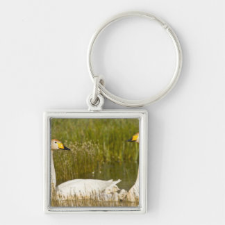 Whooper swan pair with cygnets in Iceland. Silver-Colored Square Keychain