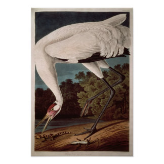 Whooping Crane, from 'Birds of America' Poster
