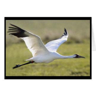 Whooping Crane (Grus americana) Card