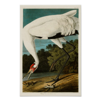 Whooping Crane John James Audubon Birds of America Poster