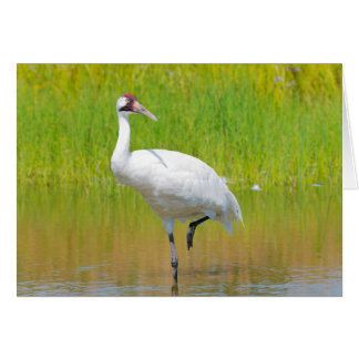 Whooping Crane Wading in Marsh Card