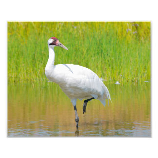 Whooping Crane Wading in Marsh Photo Print