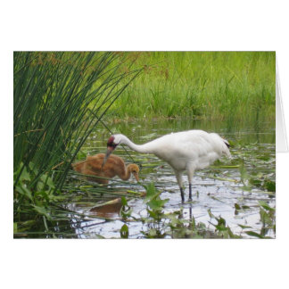 Whooping Cranes Card