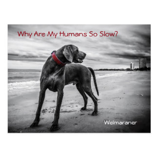 Why Are My Humans So Slow? Weimaraner Postcard