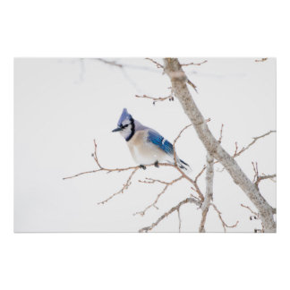 Wichita County, Texas. Blue Jay5 Poster