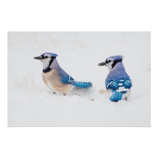 Wichita County, Texas. Blue Jay 2 Poster