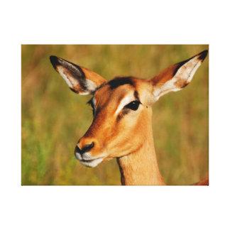 wild animals of Africa impala Kruger National Park Canvas Print