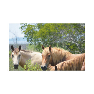 Wild Assateague Ponies Canvas Print