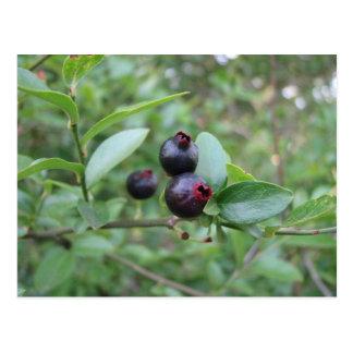 Wild Blueberry Fruit Postcard