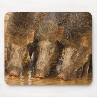 Wild Boars drinking water in the waterhole Mouse Pad