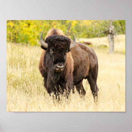 Wild Buffalo in a Field Poster
