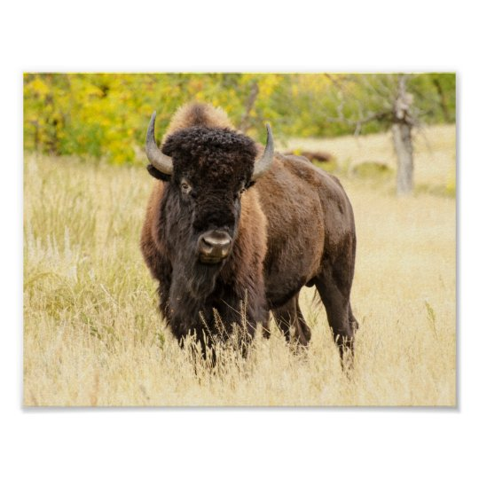 Wild Buffalo in a Field Poster