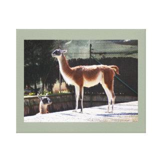 Wild camel canvas print