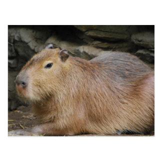 Wild Capybara Postcard