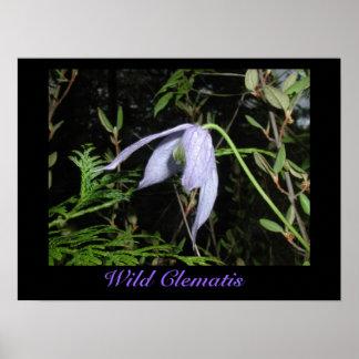 Wild Clematis Poster