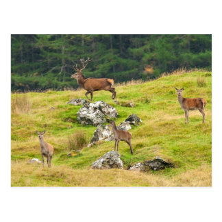 Wild Deer Stag and Hinds Scotland Photograph Postcard