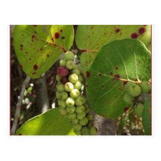 Wild Florida Sea Grapes Post Card