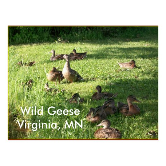 Wild Geese Postcard